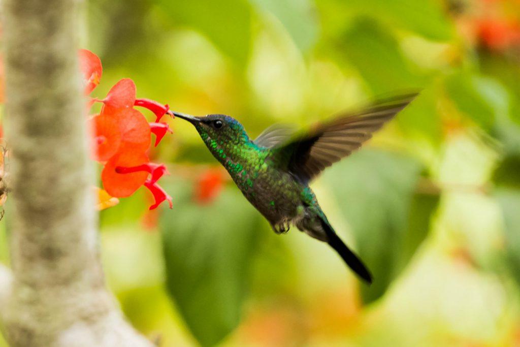 hummingbird_male_bluettailed_casa malou mar